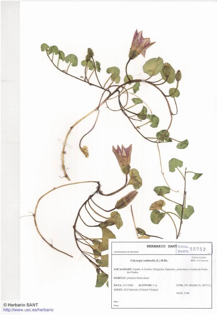 Calystegia soldanella (Duna)