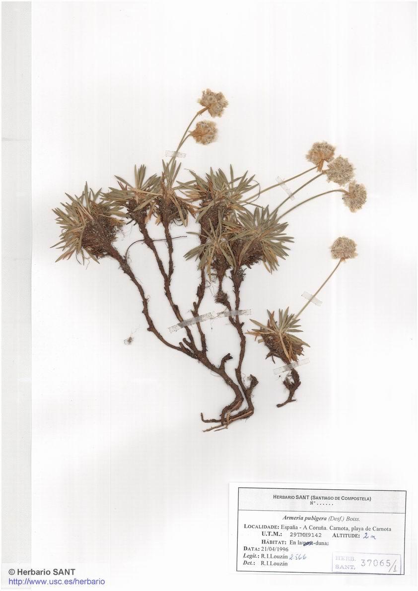 Armeria pubigera (Cantil)