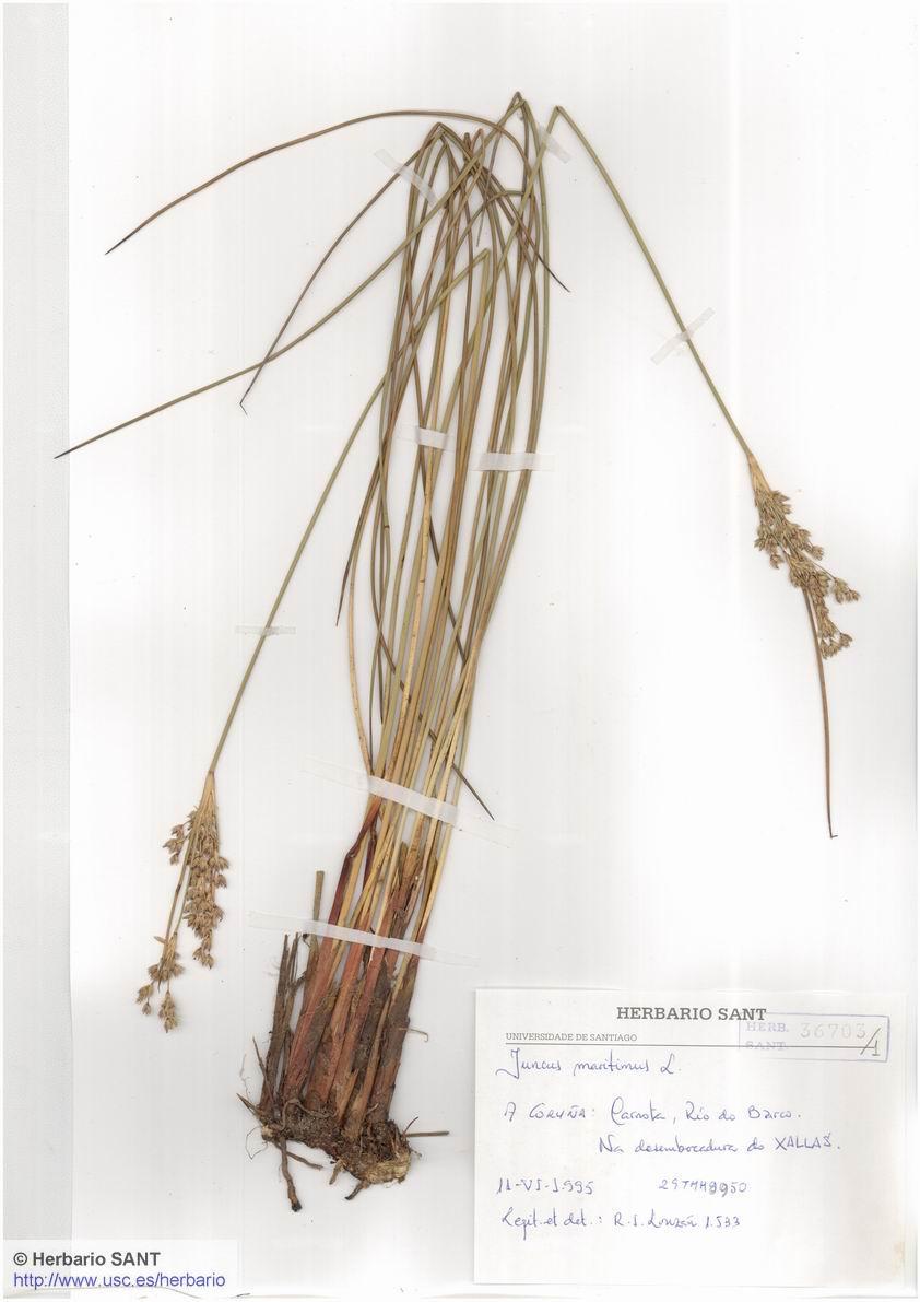 Juncus maritimus (Marisma)
