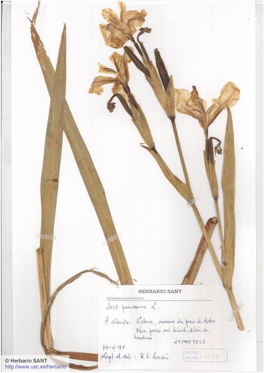 Iris pseudacorus (Acu�tica)