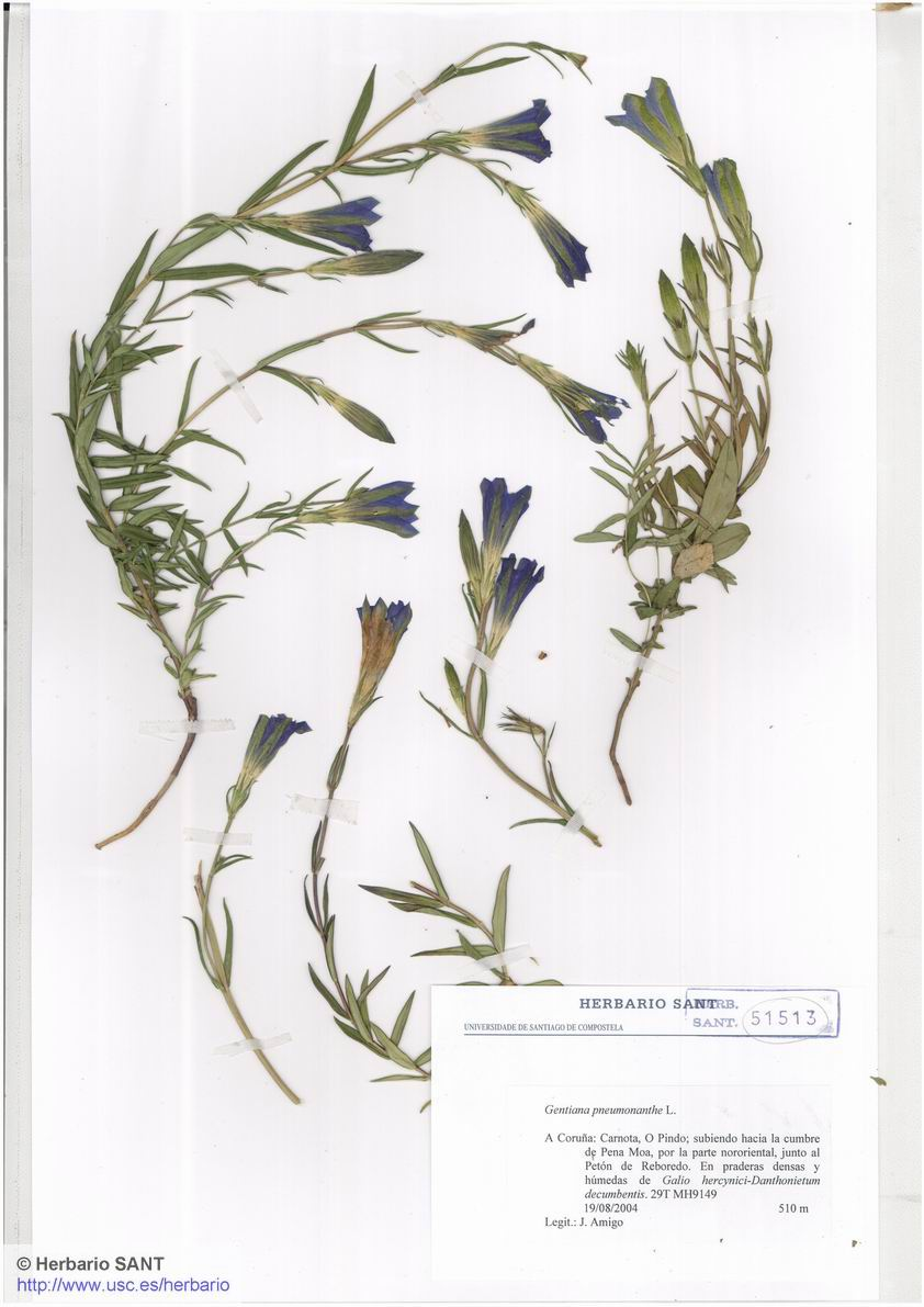 Gentiana pneumonanthe (Bra�a)