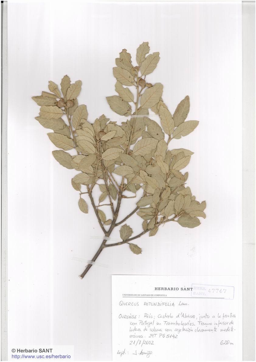Quercus rotundifolia (Bosque mediterr�neo)