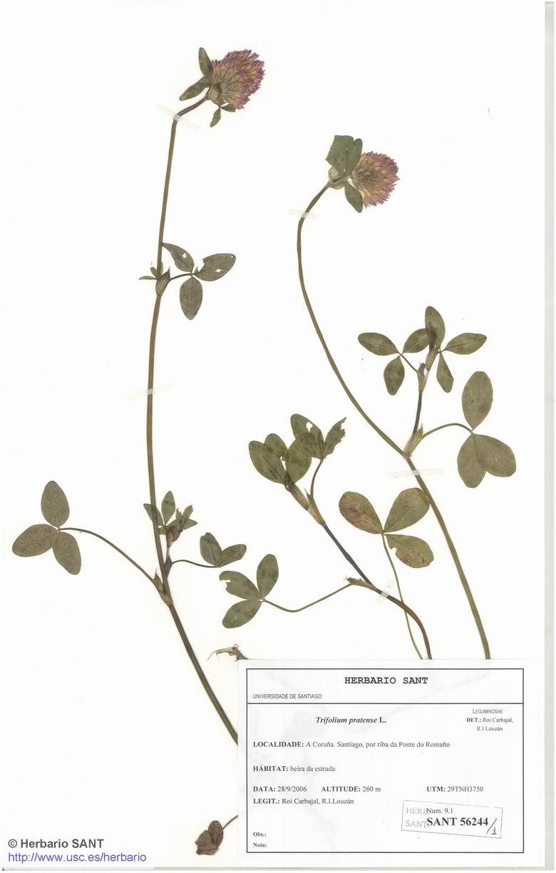 Trifolium pratense (Prado)