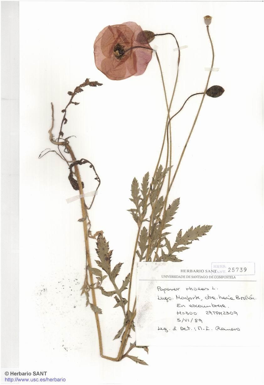 Papaver rhoeas (Nitrofila)
