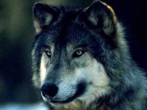 O Plan de Xestión do Lobo aprobará medidas para unha década